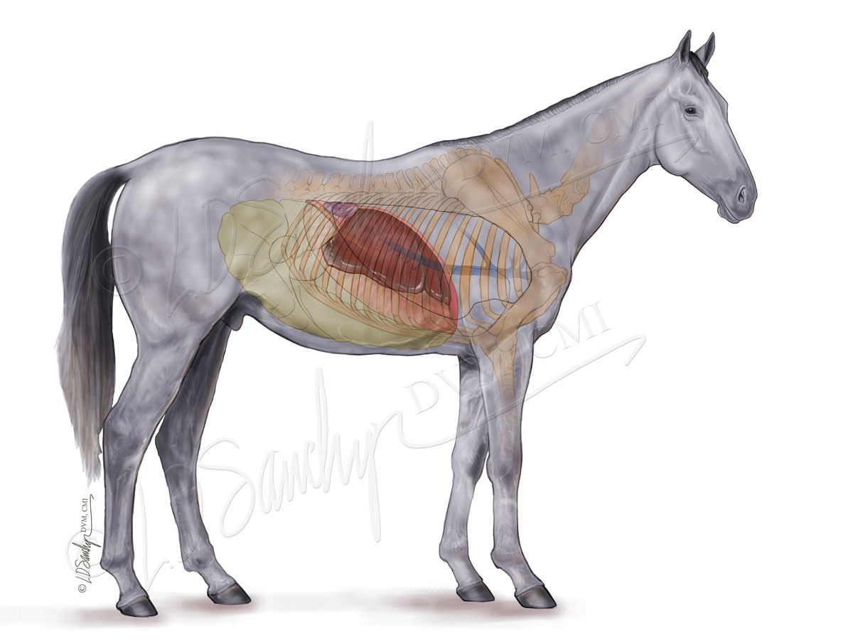 Equine Liver and Gastrointestinal Anatomy – Sawchyn Medical Illustration