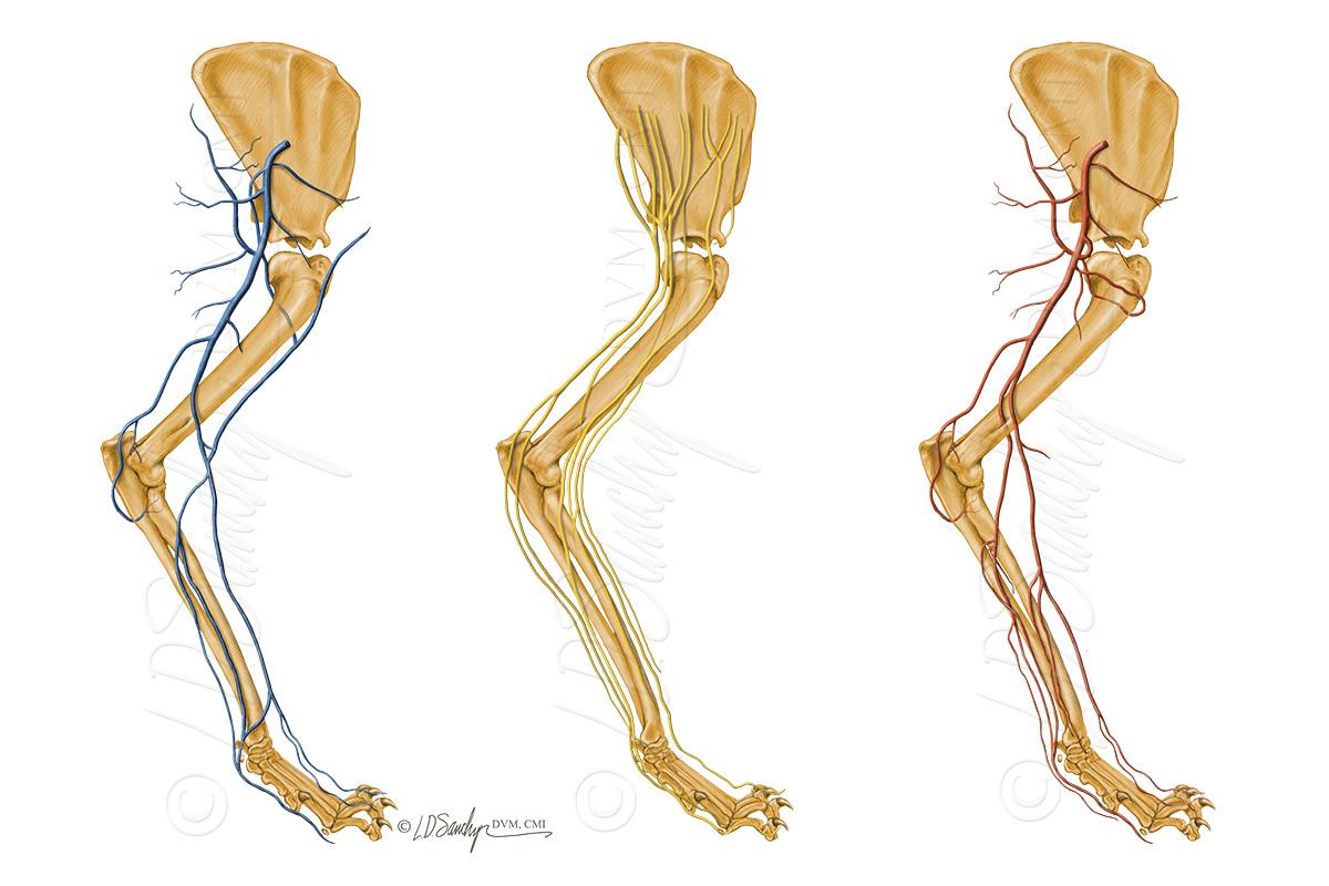 Portfolio – Sawchyn Medical Illustration